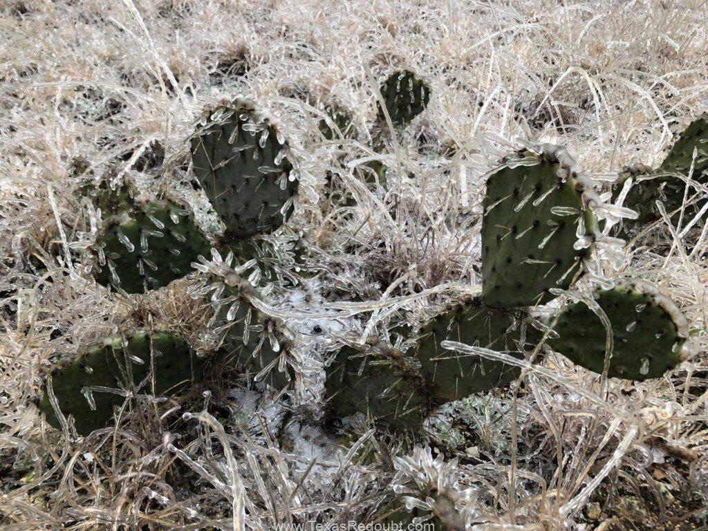 Photo of ice covered prickly pear cactus